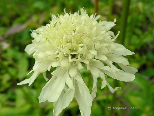 Cephalaria gigantea, Blütenstand  © Mag. Angelika Ficenc