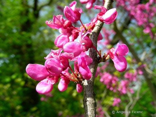 Cercis siliquastrum - Gewöhnlicher Judasbaum, Blütenstand mit Blüten