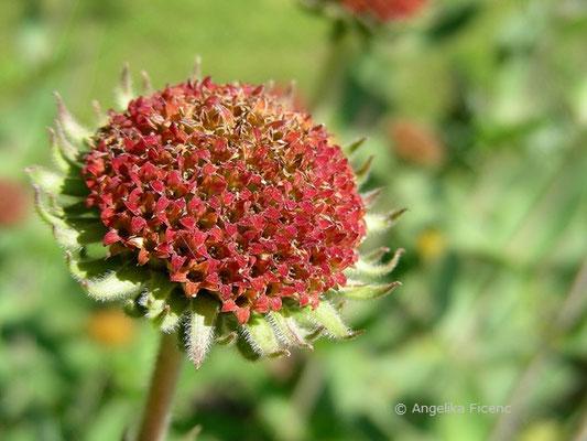 Helianthus mollis - Weiche Sonnenblume  © Mag. Angelika Ficenc