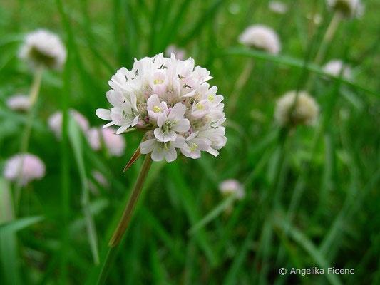 Armeria arenaria - Wegerich Grasnelke