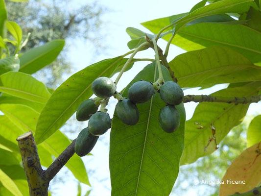 Persea indica - Indische Persea, Früchte  © Mag. Angelika Ficenc