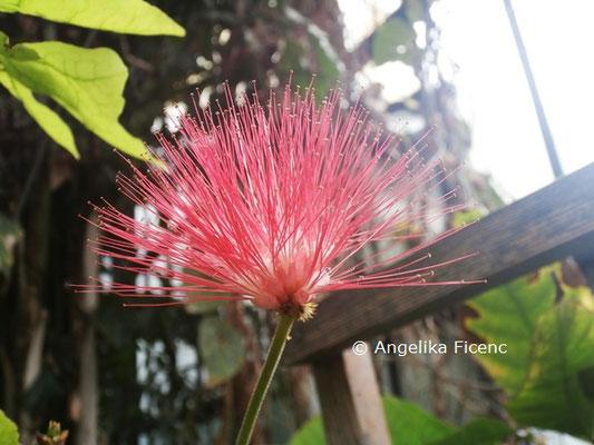 Calliandra emarginata © Mag. Angelika Ficenc