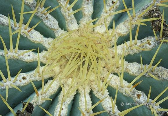 Ferocactus glaucescens in Aufsicht