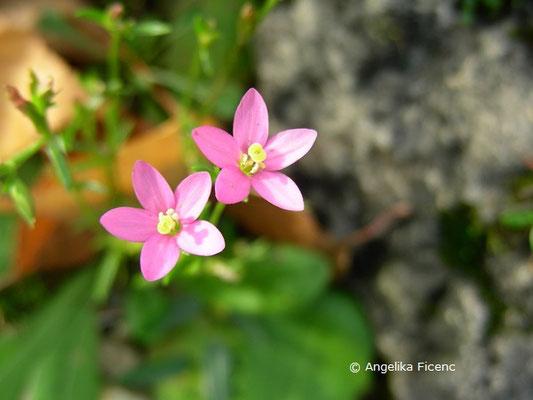 Galium meliodorum - Honig Labkraut  © Mag. Angelika Ficenc