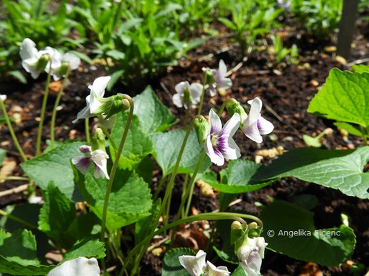 Viola cucullata, Blüten