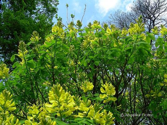 Petteria ramentaceae - Petterie