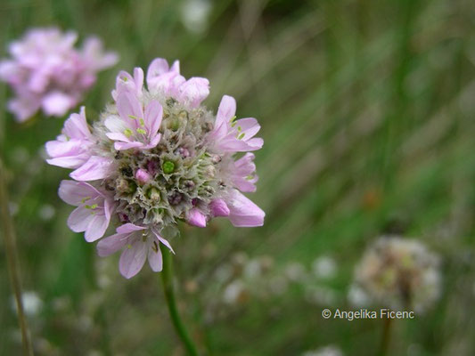 Allium senescens  - Berglauch, Blütenstand