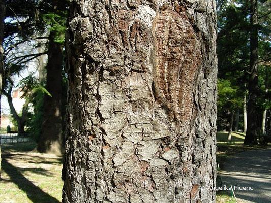 Abies numidica - Numidische Tanne, Stamm, Borke
