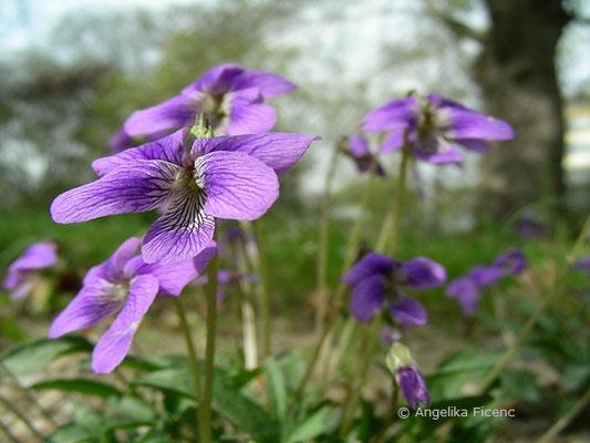 Viola pedatifida - Prärieveilchen