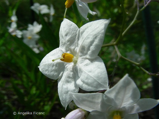 Solanum jasminoides -  Jasmin-Nachtschatten  © Mag. Angelika Ficenc