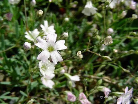 Gypsophila repens - Kriech Gipskraut, Blüte