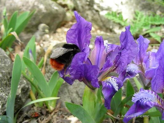 Iris pumila - Zwerg Iris, Blüten   © Mag. Angelika Ficenc