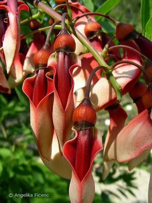 Erythrina crista - Gewöhnlicher Korallenbaum