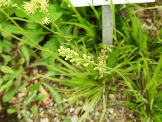 Tofieldia calyculata - Kelch-Simsenlilie  © Mag. Angelika Ficenc