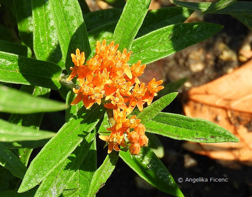 Asclepias verticilliata, Blütenstand