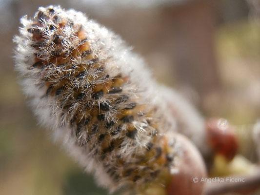 Salix sp. - Weide
