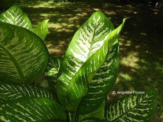 Dieffenbachia seguine © Mag. Angelika Ficenc
