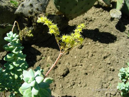 Sedum treleasei - Fetthenne, Blütenstand