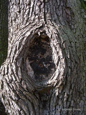 Pyrus spinosa - Pfirsichblättrige Birne, Stamm  © Mag. Angelika Ficenc