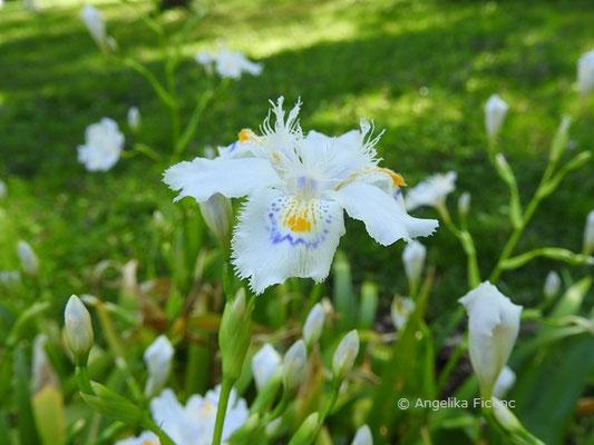 Iris japonica, Blüte