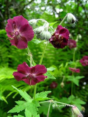 Geranium phaeum subsp. phaeum - Brauner Storchschnabel