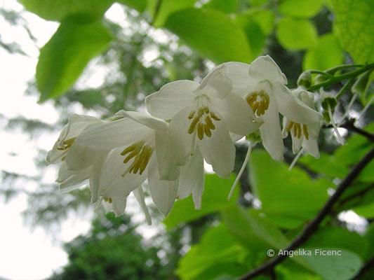Styrax obassia - Storaxbaum