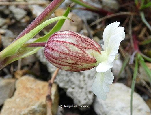 Silene zawadskii - Leimkraut, Einzelblüte, Seitenansicht