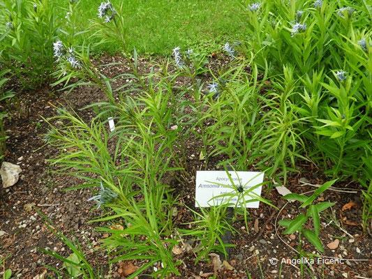 Amsonia hubrichtii - Amsonie, Laubblätter, Habitus