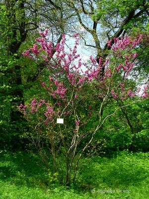 Cercis siliquastrum - Gewöhnlicher Judasbaum, Habitus