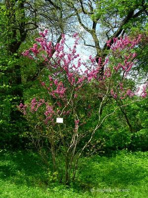 Cercis siliquastrum - Gewöhnlicher Judasbaum, Habitus   © Mag. Angelika Ficenc