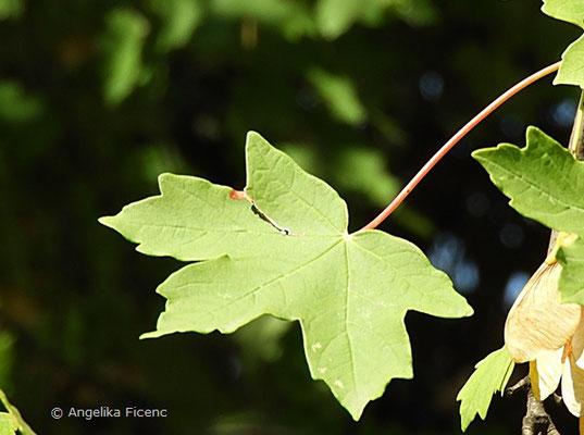Acer hyrcanum - Balkan Ahorn, Blatt