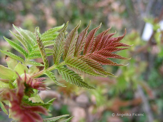 Sorbaria sorbifolia - Sibirische Fiederspiere  © Mag. Angelika Ficenc
