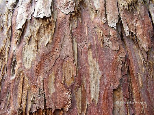 Sequaidendron giganteum - Mammutbaum, Rinde