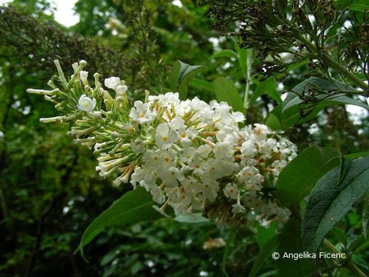 Buddlea davidii - Schmetterlingsstrauch, © Mag. Angelika Ficenc