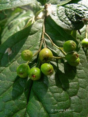 Cotoneaster bullatus - Runzelblättrige Zwergmispel, unreife Früchte