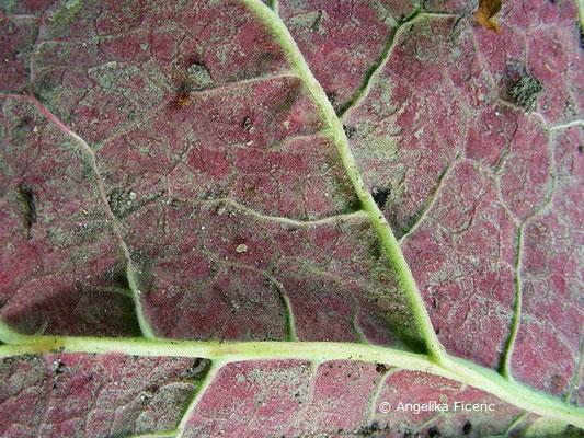 """Rheum raponticum """"Holsteiner Blut"""" - Bulgarischer Rhabarbar, Blattunterseite"""