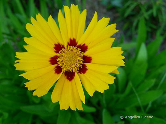 Mädchenauge, Blüte in Aufsicht