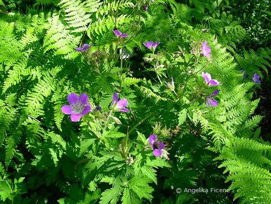 Geranium sylvaticum - Wald Storchenschnabel