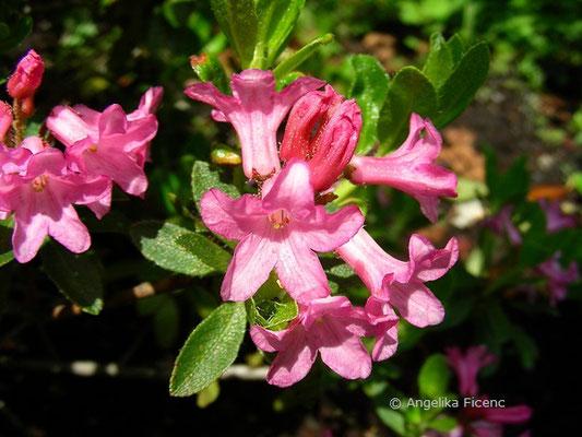 Rhododendron hirsutum - Bewimperte Alpenrose  © Mag. Angelika Ficenc