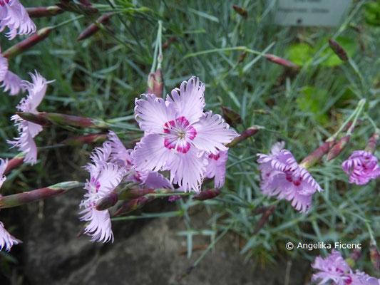 Dianthus uralensis - Ural Nelke, Einzelblüte