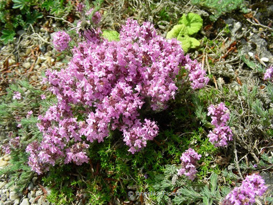 Thymus praecox Opiz - Gebirgs Thymian