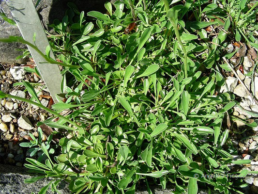 Globularia trichosantha - Kaukasus Kugelblume, Laubblätter