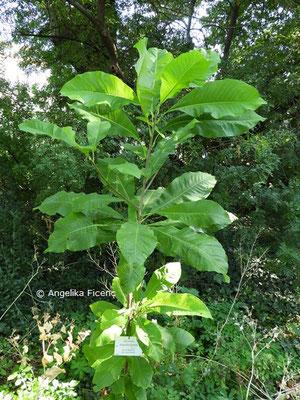 Magnolia tripetala   © Mag. Angelika Ficenc
