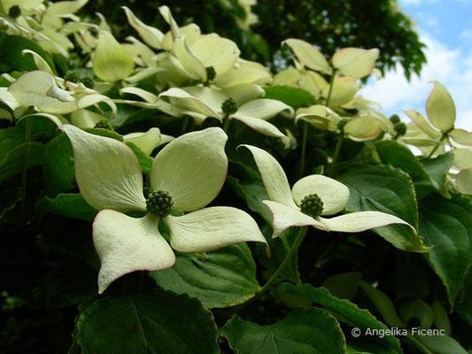 Cornus kousa var. kousa - Japanischer Blumen-Hartriegel, Blüten