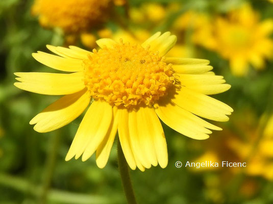 Lastenia californica © Mag. Angelika Ficenc