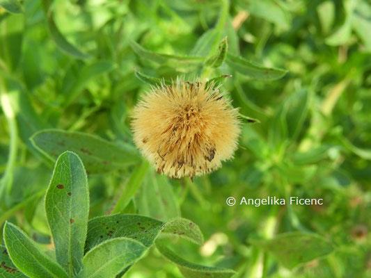 Heterotheca villosa © Mag. Angelika Ficenc