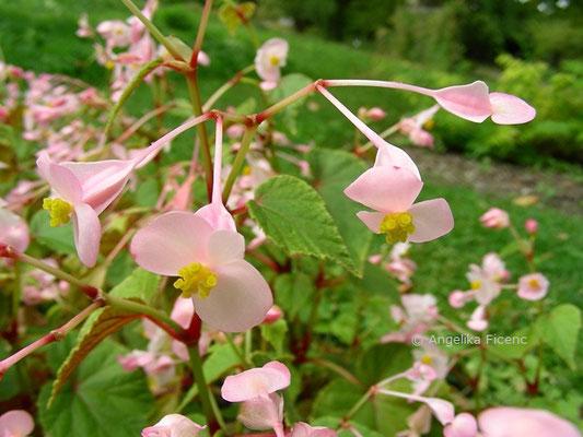 Begonia grandis subsp. grandis  © Mag. Angelika Ficenc