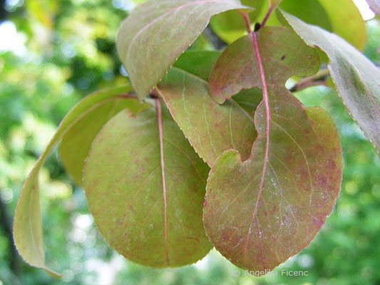 Viburnum prunifolium - Kirschblättriger Schneeball, Laubblätter