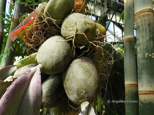 Bulbophyllum phalaenopsis    © Mag. Angelika Ficenc