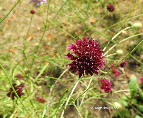 Scabiosa atropurpurea © Mag. Angelika Ficenc